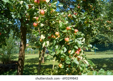 Red apples on a apple tree; (Malus domestica)