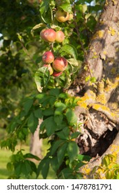 red apples on branch of an apple tree in evening sun on summer day