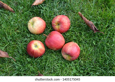 Red apples on the grass. Autumn background - fallen apples on the green grass  in garden.