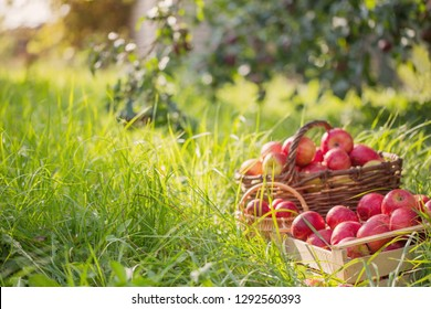 red apples on green grass in summer orchard