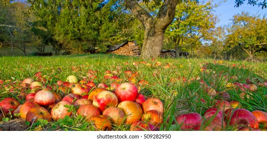 Red apples on a green meadow