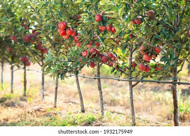 Red apples on a tree. Apple orchard