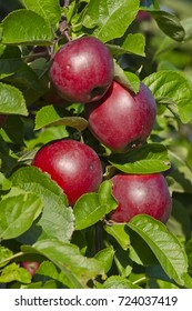 red apples on a tree in the garden, Latvia