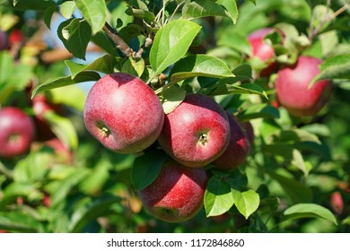 red apples on the tree in harvest season