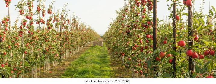 Red apples orchard