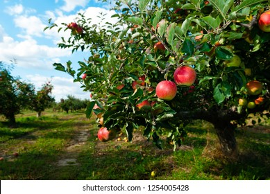 red apples orchard tree blu sky