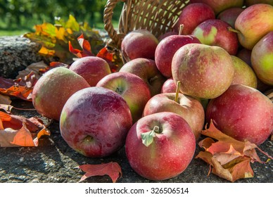 Red apples rolling out of the basket on rustic stone background with autumn leaves. Deep sharpness.