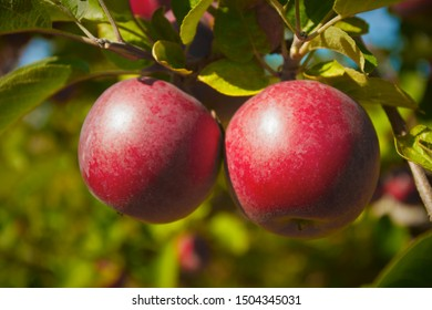 red apples in tree orchard organic fruit farm