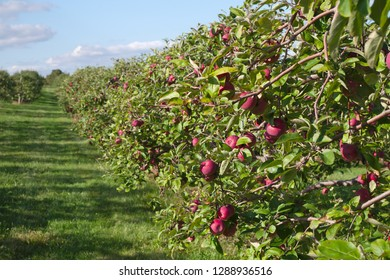 red apples in trees orchard organic fruit agriculture