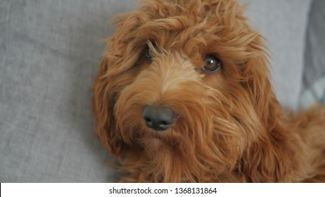 Aiheeseen Cockapoo Puppy liittyviä kuvia, arkistokuvia ja
