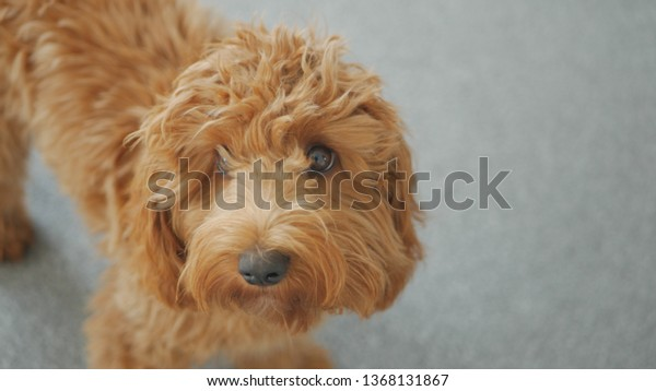 Red Apricot Cockapoo Puppy Stock Photo (Edit Now) 1368131867