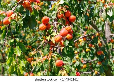 Red Apricot fruit on apricot tree
