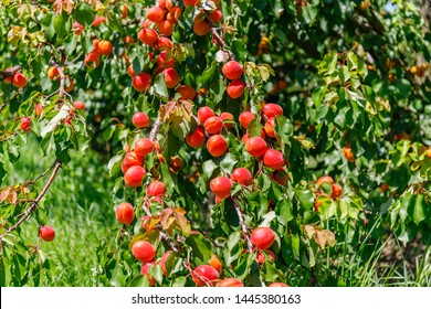 Red Apricot fruit in sunny day, on apricot tree in garden