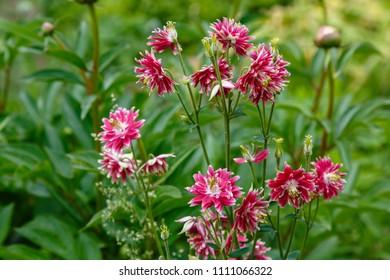 Red aquilegia (European Columbine) double-flowered bloom in the garden