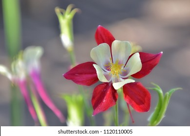 Red aquilegia flower, commonly named columbine, on a soft grey background