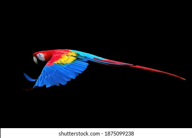 Red Ara parrot, isolated on black background. Bright red and blue south american parrot,  Ara macao, Scarlet Macaw, flying with outstretched wings, wild amazonian bird.