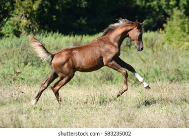The red arabian foal plays on a pasture in summer