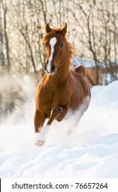 red arabian stallion runs gallop in the winter