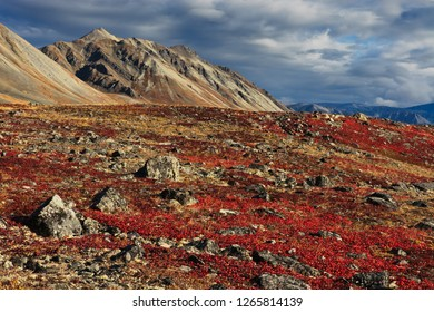 Red arctostaphylos (bearberry) among the stones on the mountains. Beautiful colorful autumn tundra. September in the far north near the Arctic Circle. Iskaten ridge, Chukotka, Far East of Russia.