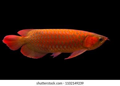 Red Arowana the Asian dragon fish on black background.