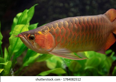Red Arowana in freshwater aquarium. Asian arowana (Scleropages formosus) is one of the world's most expensive cultivated ornamental fishes, an endangered species.