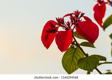 Red Ashanti blood flower (Mussaenda erythrophylla) green leaves background. Mussaenda erythrophylla also know as Ashanti blood, red flag bush and tropical dogwood, is an evergreen West African shrub.