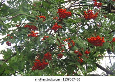 Red ashberry on a background of blue sky and green leaves in autumn