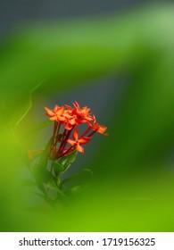 Red Ashoca (Saraca Asoca) is a kind of tropical flower.
