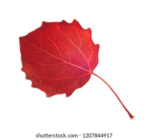 Red asp leaf on white background