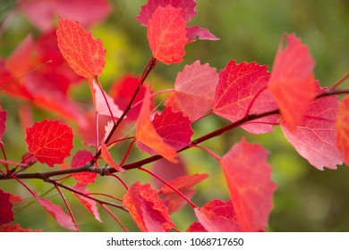 red aspen leaves in autumn forest