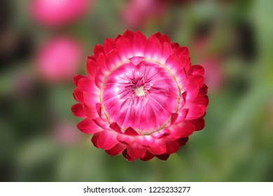 The red aster basks in the sunshine of a summer day. Aster flower on an isolated green background