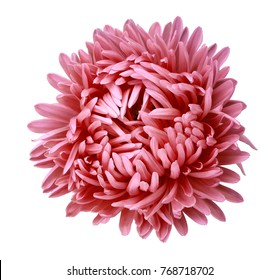 Red Aster  flower on a white isolated background with clipping path. Flower for design, texture,  postcard, wrapper.  Closeup.  Nature.