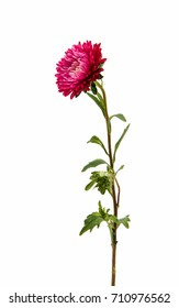red aster on a white background
