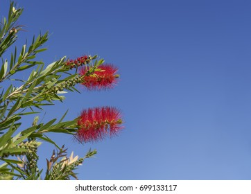 Red australian callistemon bottlebrush in flower against clear cloudless blue sky background with copyspace
