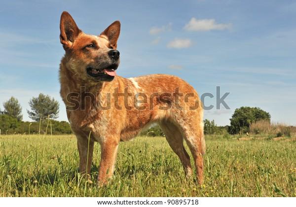 red australian cattle dog upright in a field