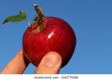 Red autumn appple from apple tree Malus Domestica grown in organic farming enviroment, held in fingers of left hand of farmer against blue skies, afternoon sunshine.