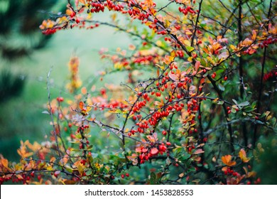 Red autumn berries of dogwood.