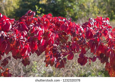 red, autumn bindweed