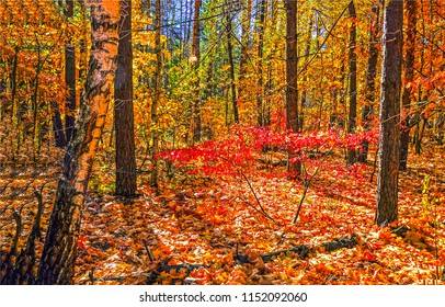 Red autumn forest scene. Autumn forest trees background. Red autumn leaves forest view