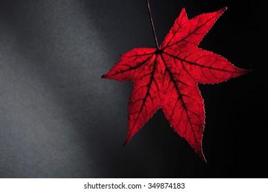 Red autumn leaf against black background
