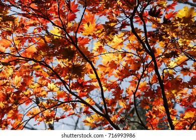 Red autumn leaf background in fall from South Korea