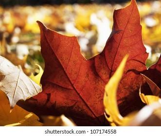 A red autumn leaf, close-up, Sweden.