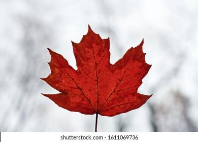 Red autumn leaf on blue sky background. Colorful fallen foliage, season change symbol. Design background pattern for seasonal use.