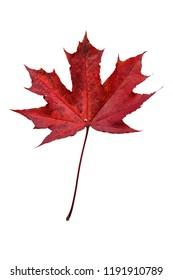 Red autumn leaf on white beackground