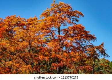 Red autumn leaves of cypress Taxodium distichum on the lake in Sukko near the city of Anapa. Once a year the lake becomes magical. Nature concept for design