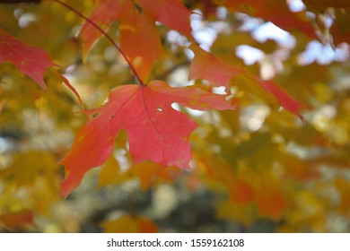 Red Autumn Leaves on a Tree