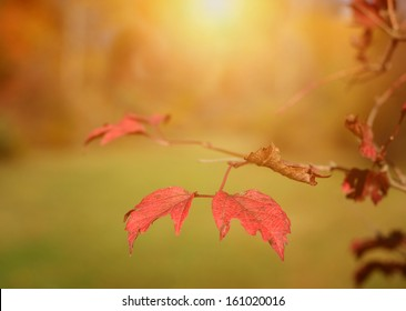 Red autumn leaves in sunrise