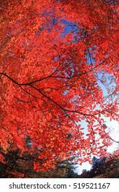 Red autumn Maple leaf lighted up by sunshine. Photoed in the Kumobaike Lake, Karuizawa, Japan. Photoed with wide angle fish-eye lens.