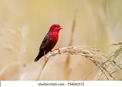 Red avadavat,red munia or strawberry finch (male) perching on ear of paddy. Red avadavat is small red bird in spring with copy space