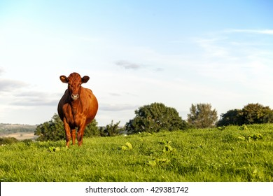Red Ayrshire Cow in pasture